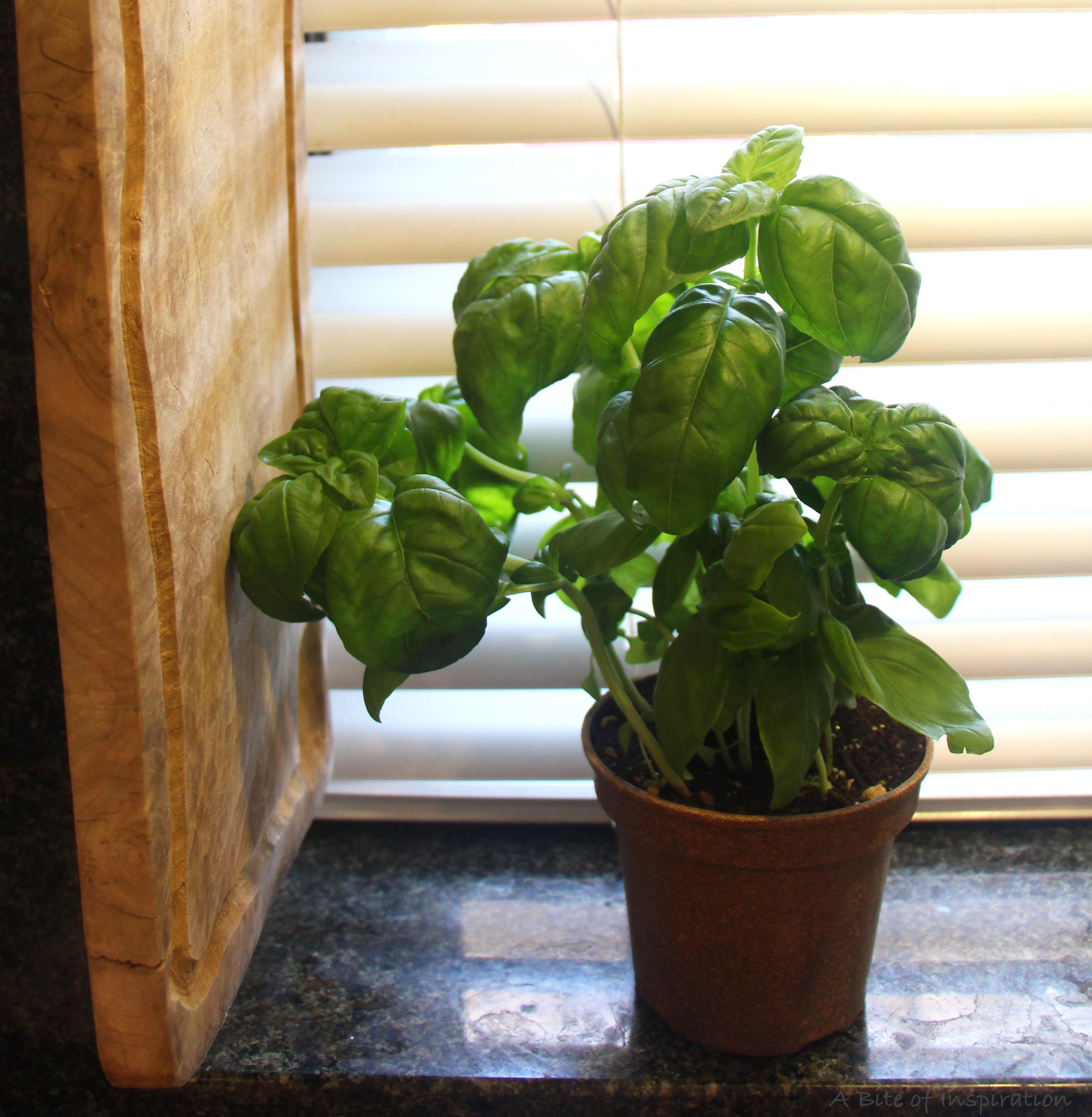 Basil plant growing on the windowsill with sunlight streamind behind it